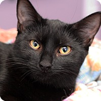 Adopt A Pet :: PEANUT - Royal Oak, MI