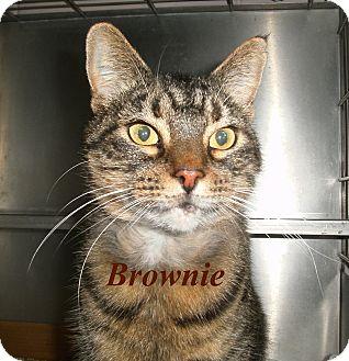 Domestic Shorthair Cat for adoption in El Cajon, California - Brownie