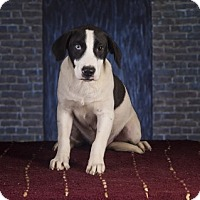 Adopt A Pet :: Phil - Clarksville, AR
