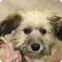 Terrier (Unknown Type, Small)/Havanese Mix Puppy for adoption in Bedminster, New Jersey - Phelps