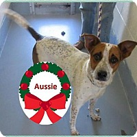 Adopt A Pet :: Aussie - Rootstown, OH