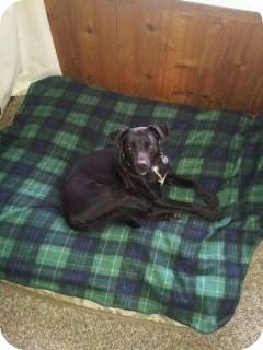 Labrador Retriever/Terrier (Unknown Type, Medium) Mix Dog for adoption in Valley Village, California - Frankie