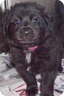 Border Collie/Retriever (Unknown Type) Mix Puppy for adoption in MINNETONKA, Minnesota - RICKY
