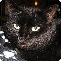 Domestic Shorthair Cat for adoption in Eldora, Iowa - Charlene