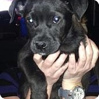 Adopt A Pet :: Baby Bruce - Marlton, NJ