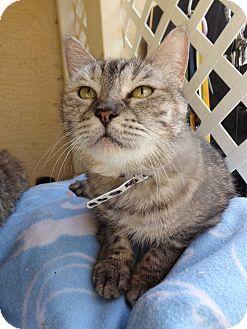 Domestic Shorthair Cat for adoption in Mesa, Arizona - Silver (aka. Graymace)