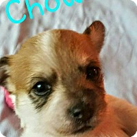 Adopt A Pet :: Penny pup5 - Chowder - Houston, TX