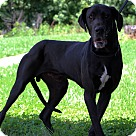 Adopt A Pet :: Duke Adoption Pending