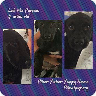 Labrador Retriever Mix Puppy for adoption in Lyndhurst, New Jersey - Cherylynn