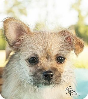 Shih Tzu/Chihuahua Mix Dog for adoption in Houston, Texas - Wesson