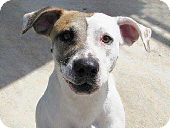 Spaniel (Unknown Type)/American Bulldog Mix Puppy for adoption in Boston, Massachusetts - Keno