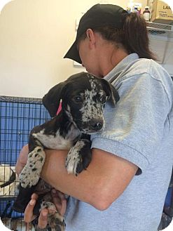 Australian Shepherd/Catahoula Leopard Dog Mix Puppy for adoption in Rockville, Maryland - Baby Karley