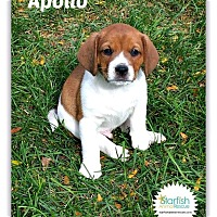 Beagle Mix Puppy for adoption in Plainfield, Illinois - Apollo