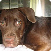 Labrador Retriever Mix Dog for adoption in Jacksonville, Florida - AMBER