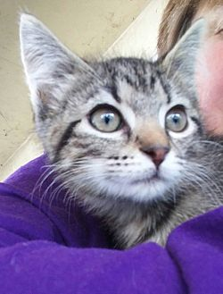 Domestic Shorthair Kitten for adoption in Clarkson, Kentucky - Isa