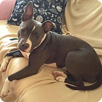 Adopt A Pet :: EMMY - Westmont, IL