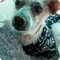 Adopt A Pet :: Benjamin - Oakton, VA