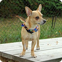 Dachshund/Chihuahua Mix Dog for adoption in Toronto, Ontario - Wesley 3236