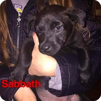 Basenji/Labrador Retriever Mix Dog for adoption in Mission, Kansas - Sabbath