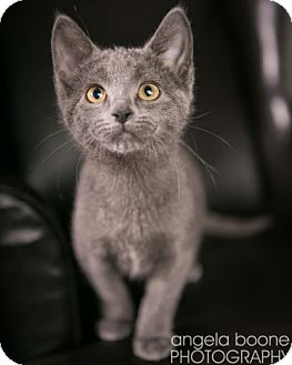 Domestic Shorthair Kitten for adoption in Eagan, Minnesota - Augusta
