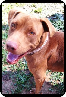 Labrador Retriever Mix Dog for adoption in Meridian, Mississippi - Reece