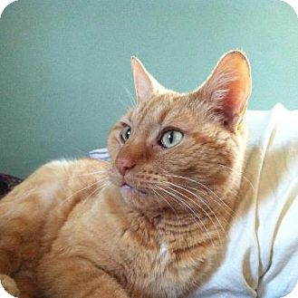 Domestic Shorthair Cat for adoption in Chicago, Illinois - Henry