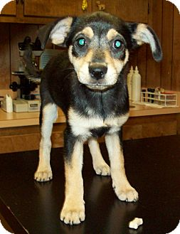 Terrier (Unknown Type, Small)/Miniature Pinscher Mix Puppy for adoption in Glastonbury, Connecticut - GRACIE