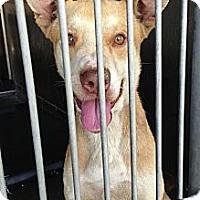 Adopt A Pet :: Cain URGENT - San Diego, CA