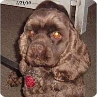 Adopt A Pet :: Choco - Tacoma, WA
