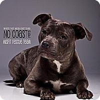 Adopt A Pet :: Al Capone - Louisville, KY