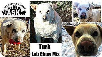 Labrador Retriever/Chow Chow Mix Dog for adoption in Battle Creek, Michigan - Turk