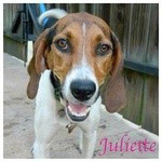 Treeing Walker Coonhound Dog for adoption in Newnan, Georgia - Juliette