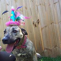 Pit Bull Terrier Mix Dog for adoption in Lake Charles, Louisiana - Lita