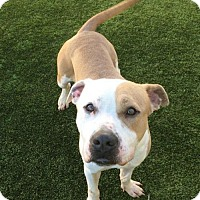 Adopt A Pet :: Miguel--I'm dog-friendly & at the Adoption Center! - Chicago, IL