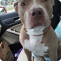 Adopt A Pet :: Skye Blue - Warren, MI