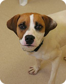 Hound (Unknown Type)/Treeing Walker Coonhound Mix Dog for adoption in Staunton, Virginia - Jack