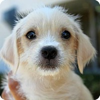 Adopt A Pet :: Ballet Puppies - Male - San Diego, CA