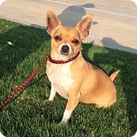 Adopt A Pet :: Chloe--Courtesy Listing - Fort Worth, TX