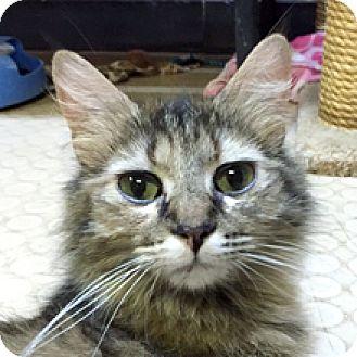 Domestic Mediumhair Cat for adoption in Phoenix, Arizona - Squirrel