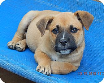 German Shepherd Dog/English Bulldog Mix Puppy for adoption in Sussex, New Jersey - Whiskey(7 lb) New Pics & Video