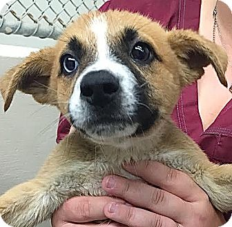Australian Shepherd Mix Puppy for adoption in Lakewood, Colorado - Noah