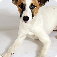 Adopt A Pet :: Lily CollieShep - St. Louis, MO