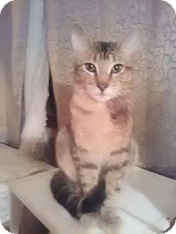 Domestic Shorthair Cat for adoption in Wichita, Kansas - Richard III