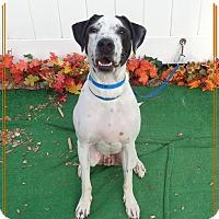 Pointer Mix Dog for adoption in Marietta, Georgia - FREEWAY