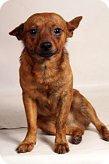 Chihuahua Mix Dog for adoption in St. Louis, Missouri - Mike Chi