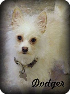 Chihuahua/Poodle (Miniature) Mix Dog for adoption in Anaheim Hills, California - Dodger