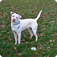 Labrador Retriever Dog for adoption in Akron, Ohio - Mitchum