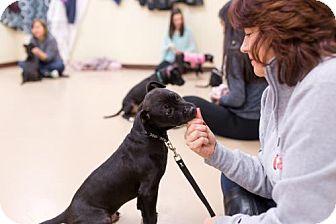 Pit Bull Terrier Mix Dog for adoption in Rochester, New York - Buckingham