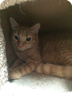 Domestic Shorthair Cat for adoption in Lunenburg, Massachusetts - James Bond