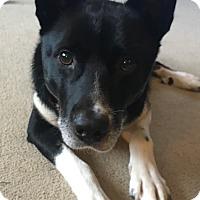Adopt A Pet :: Bear *Foster* - Appleton, WI